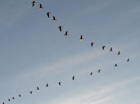 Uccelli disposti a V
